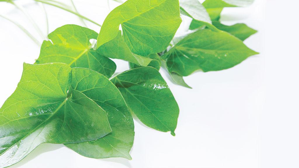 gushichanii菜